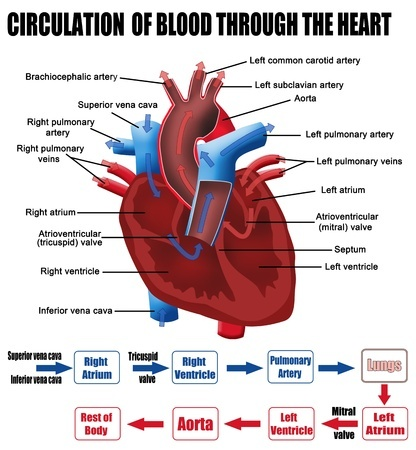 How Blood Travels Through The Body American Heart Association Worksheet